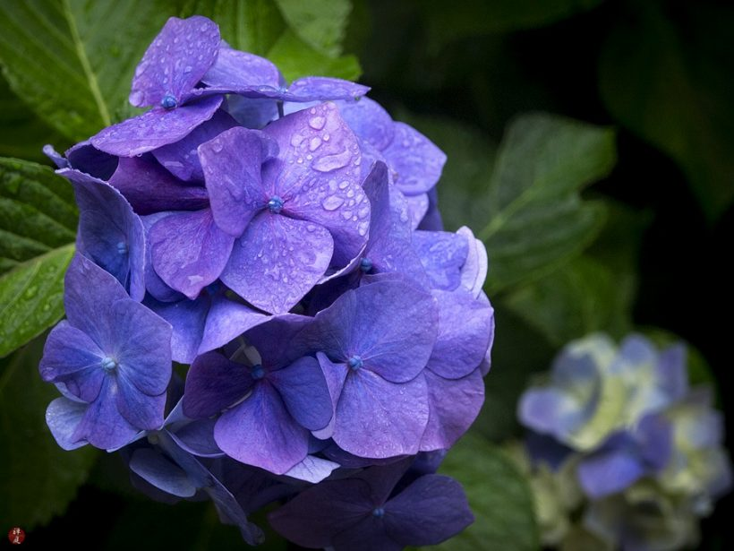 Ajisai λουλούδι κατά τη διάρκεια της Ιαπωνίας περίοδο βροχών